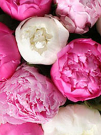 Peonies: May - June - July 15th