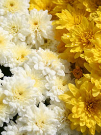 Mums flowers bridal bouquets fall flowers spray pompons and daisies mightylinksfo