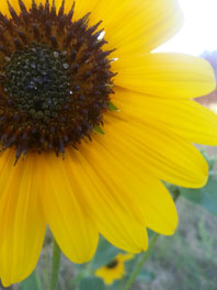 Wholesale Sunflowers - Small to Bulk Orders