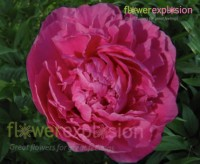 Hot pink flowers for sale cheap hot pink flowers flower explosion alexander fleming hot pink peony mightylinksfo