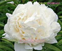 cheap peonies for sale wholesale peony flowers bulk peonies