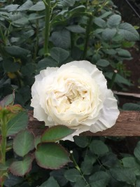 ivory white garden rose white cloud - Garden Rose