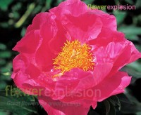 Hot pink flowers for sale cheap hot pink flowers flower explosion paula fey hot pink peony mightylinksfo