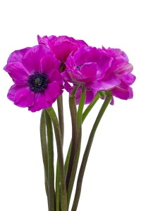 Hot pink flowers for sale cheap hot pink flowers flower explosion hot pink anemone mightylinksfo