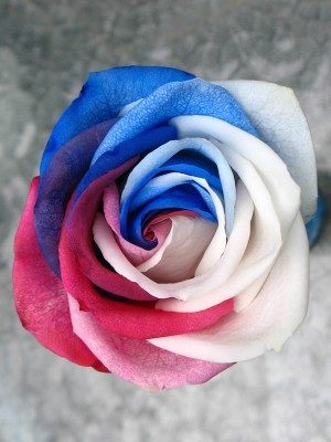 4th of July Rose