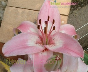 Vermeer Pink and White Asiatic Lily