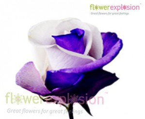 Purple & White Tinted Rose