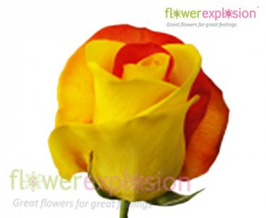 Red & Yellow Tinted Rose