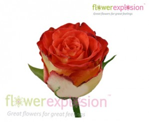 High Society Red & Cream Rose