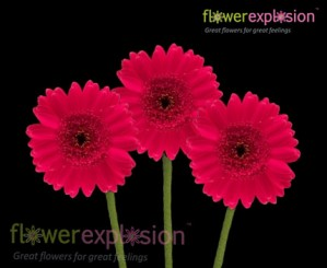Hot Pink Mini Gerberas