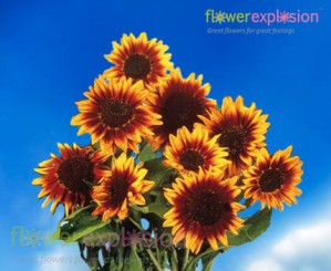Mini Ring of Fire Sunflowers