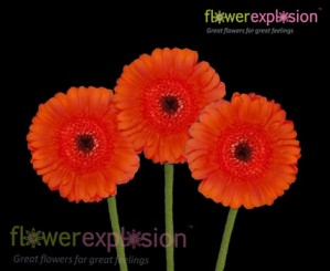 Orange Mini Gerberas
