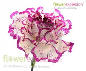 Purple & White Carnations