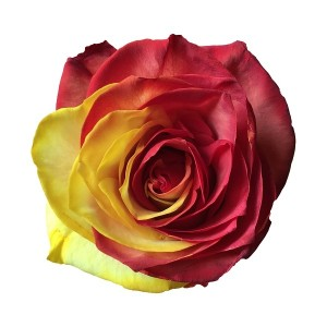 red and yellow tinted rose