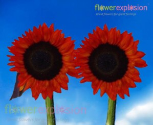 Red Tinted Sunflowers - Medium