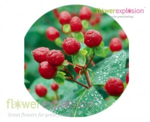 Red Hypericum Filler
