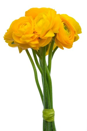 Yellow Ranunculus (Flowers)