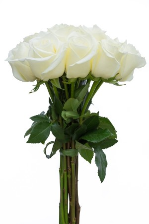 Blizzard White Rose