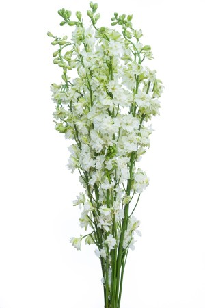 White Delphinium Flower