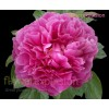 Hot Pink Peonies July to September