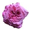 Ashley Garden Rose
