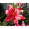 Red Latin Asiatic Lily Red