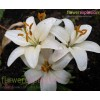 Asiatic White Lily