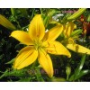 Gironde Yellow Asiatic Lily