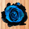 black and blue rose