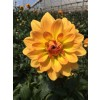golden sunset dahlia