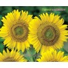 Green Center Sunflowers