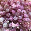 light pink tinted baby's breath