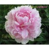 Light Pink Peonies January February