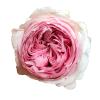 Mansfield Park Garden Rose