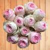 Exclusive Garden Rose