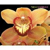 Red & Orange Cymbidium