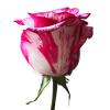 Pink and White Zebra Rose