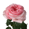 Pink X-Pression Garden Rose
