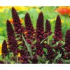 Red-Wine Lysimachia