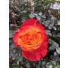 Sunset X-Pression | Orange Garden Rose