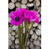 Hot Pink Anemone (Flowers)