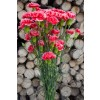 Red and White Mini Carnations