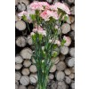 Pink & White Mini Carnations