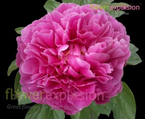 Hot Pink Peonies January February