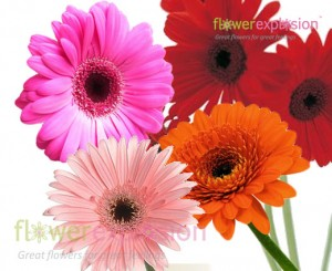 Assorted Colors Gerberas