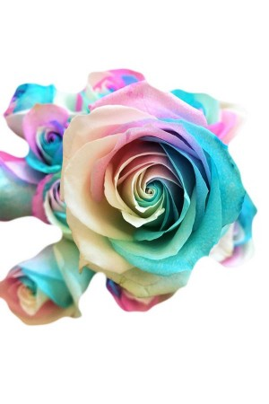 easter tinted rose