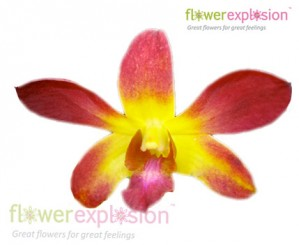 Yellow & Red Dendrobium