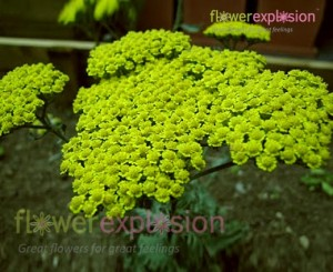 Green Yarrow (Achillea)