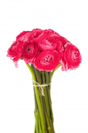 Hot Pink Ranunculus