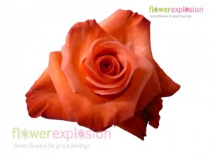 Impulse Orange Rose
